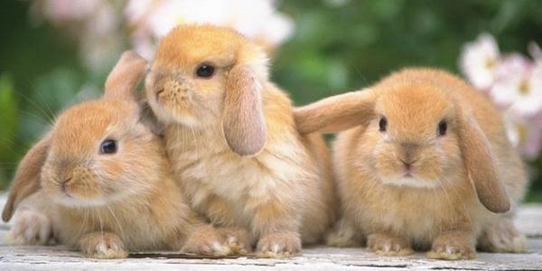 suite-lapins